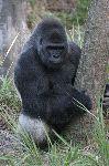 Amazing Silverback Gorilla