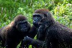 Eastern Gorillas In Uganda Rainforest