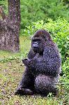 Gorilla Sitting And Eating