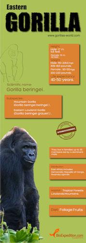 Eastern gorilla infographic.