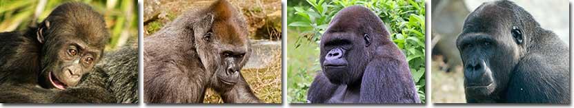 gorilla-information