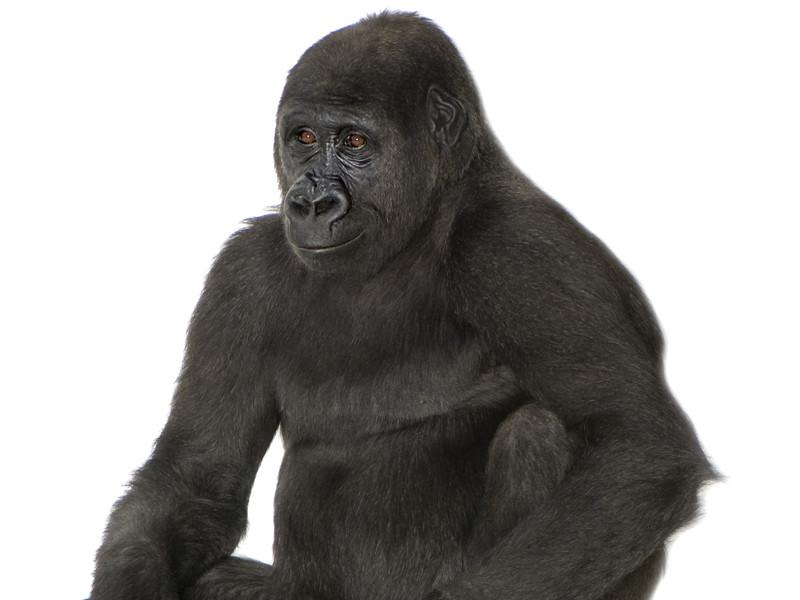 Gorilla Evolution