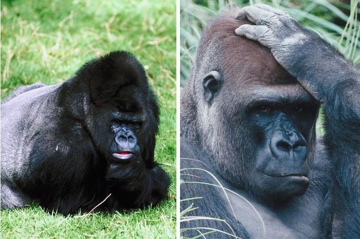 Types of gorillas.