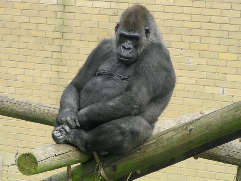 Gorillas in Captivity