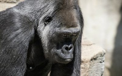 Gorillas and Global Warming
