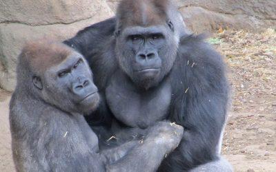 Gorilla Research