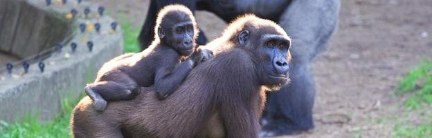 reproduction_gorilla_200.jpg