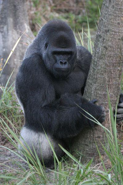 Increible_gorila_espalda_plateada_600