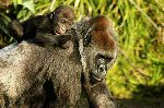 An Infant Western Lowland Gorilla Riding On Mother