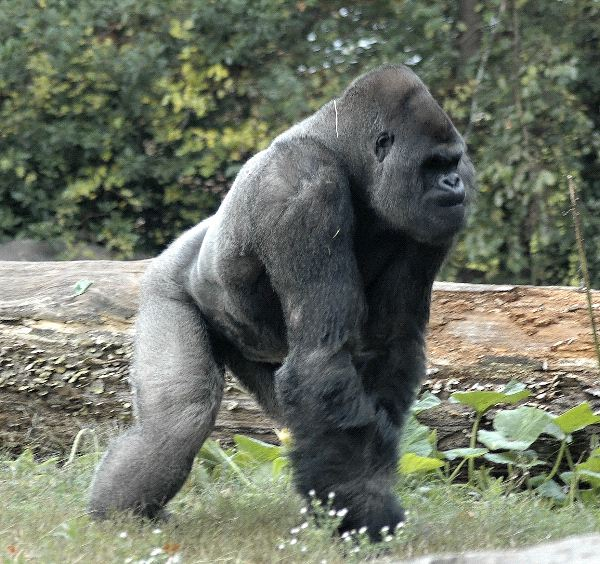 Enorme_gorila_macho_600