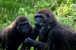 Gorilas_En_Selva_De_Uganda_150