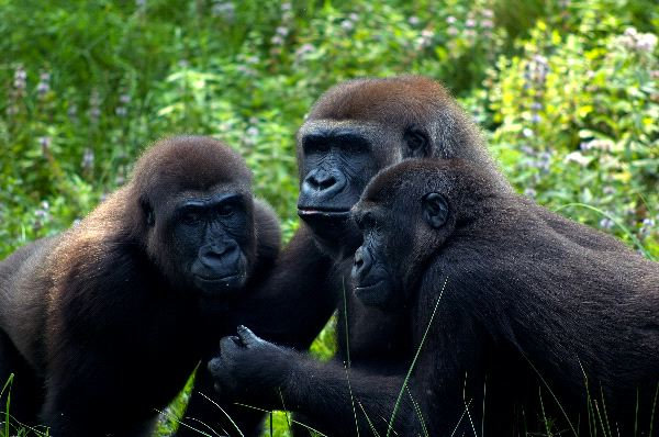 Eastern Gorillas In Uganda Rainforest
