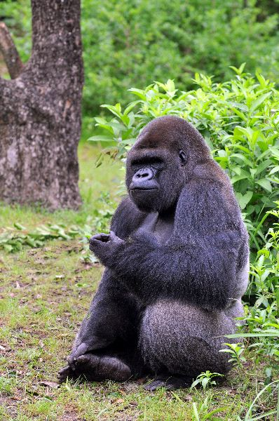Gorilla Sitting And Eating