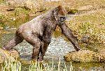 Gorilla Walking Over A Pond