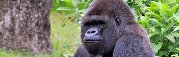What Kind Of Food Do Gorillas Eat