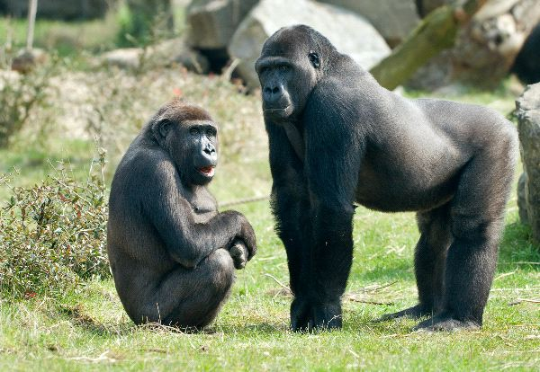 Male And Female Gorillas