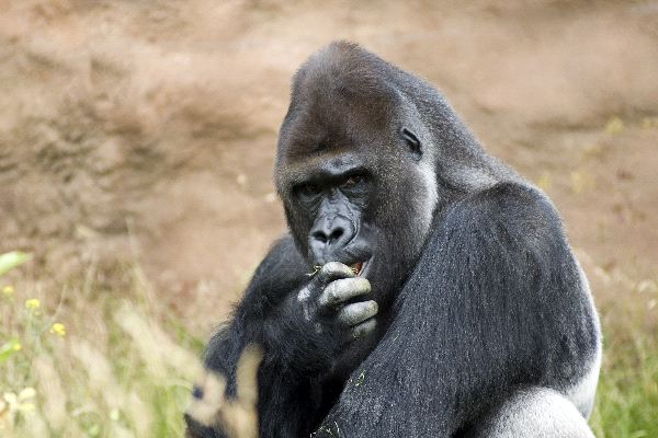 Male Gorilla Eating Grass