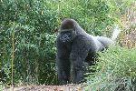 Gorila_Macho_En_Un_Bosque_Africano_150