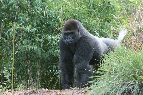 Male Gorilla In African Forest
