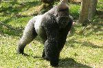 Male Gorilla In Captivity