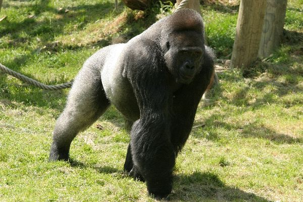 Male Gorilla In Captivity