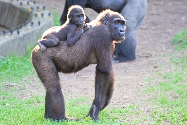 Mother Gorilla With Infant In Back