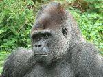 Western Gorilla Close Up