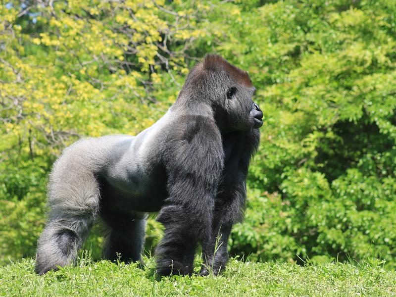 Anatomía del Gorila