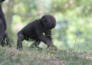 Hábitos reproductivos de los gorilas