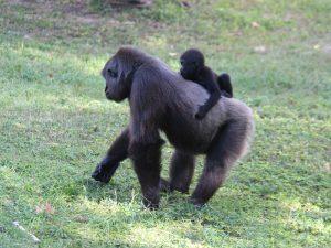 Gorillas family.