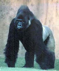 Information about Eastern lowland gorilla.