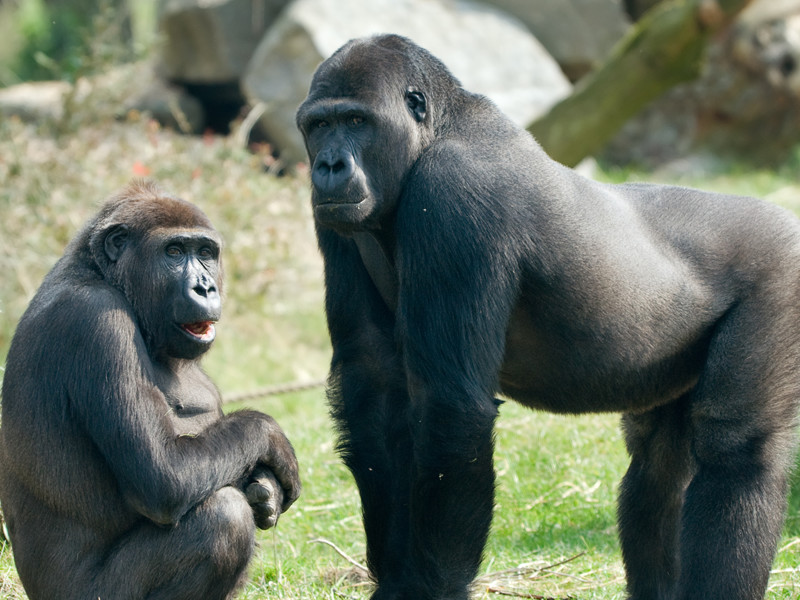 Gorilla Communication