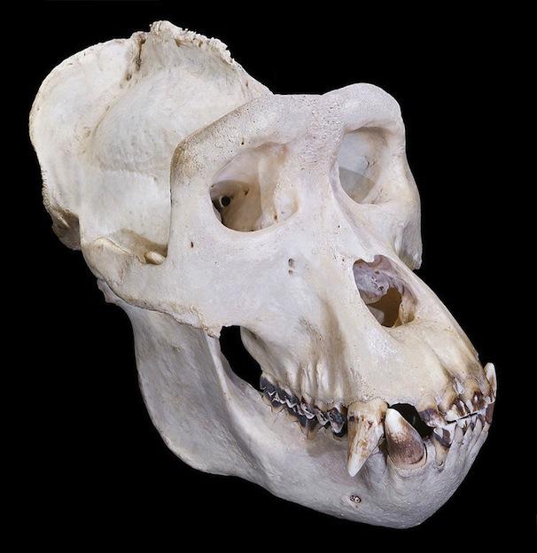 Anatomía interna de los gorilas.