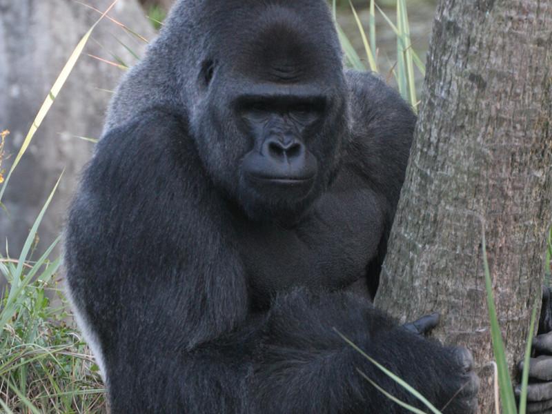 Datos curiosos sobre los gorilas.