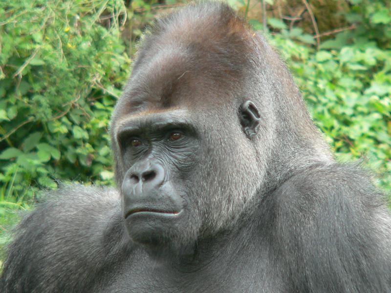 Datos sobre el gorila occidental.