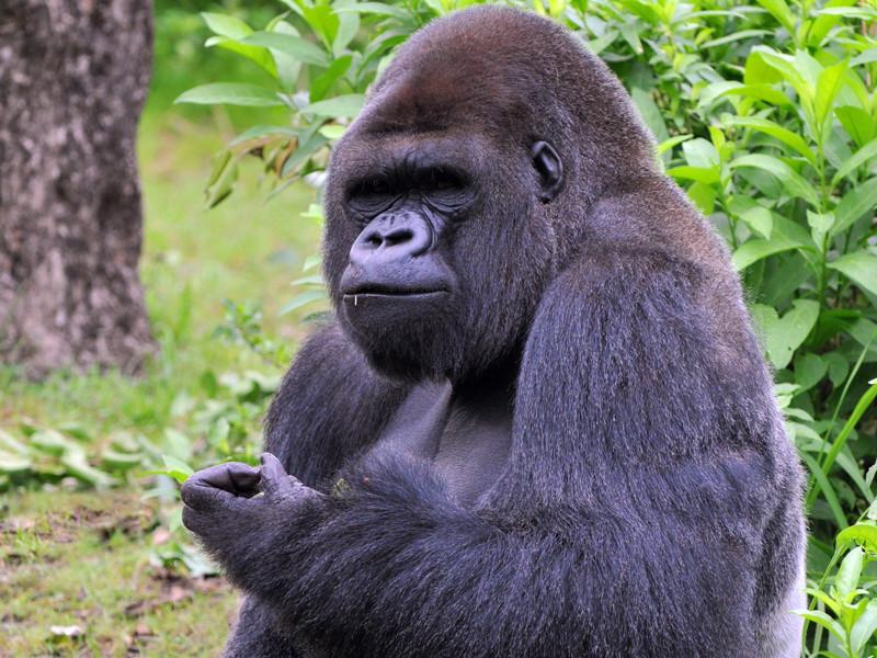 Datos sobre los Gorilas
