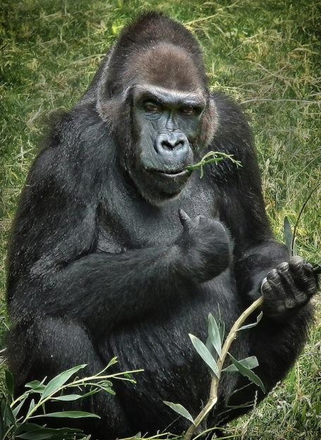 Dieta de los gorilas