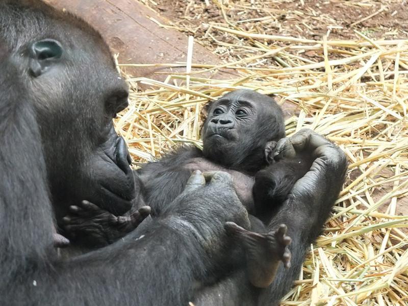 Formas de comunicación de los gorilas.