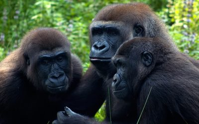 Estructura Social de los Gorilas