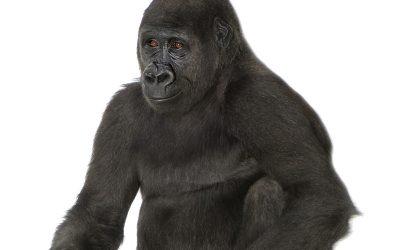 Evolución de los Gorilas