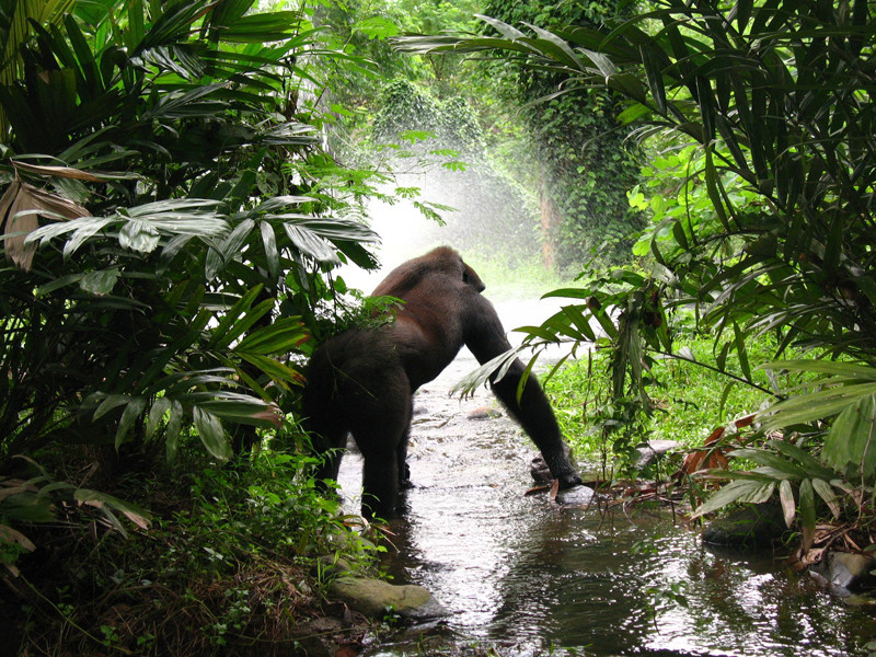 Hábitat del Gorila
