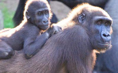 Reproducción de los Gorilas