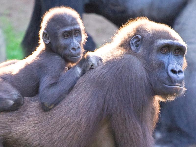 tienda de liquidación 6b13d efa13 Reproducción de los Gorilas - Gorilas Información y ...