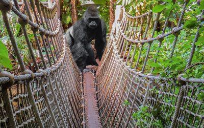 Gorilas y Seres Humanos
