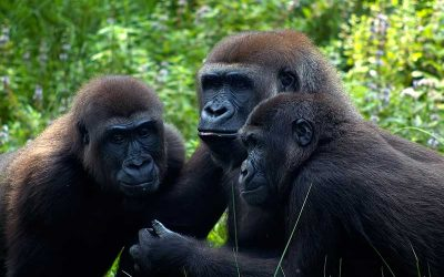 Gorilla Social Structure