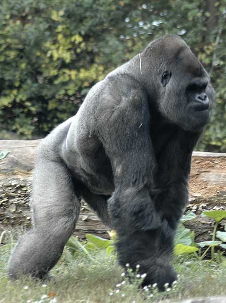 Gorilla Facts And Information