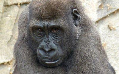 Gorilla Conservation Efforts