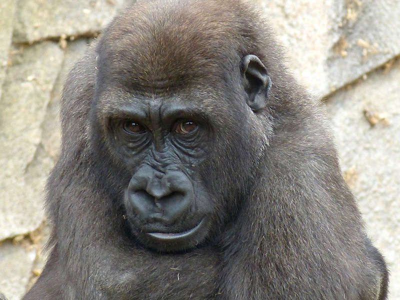 Gorilla Conservation Efforts