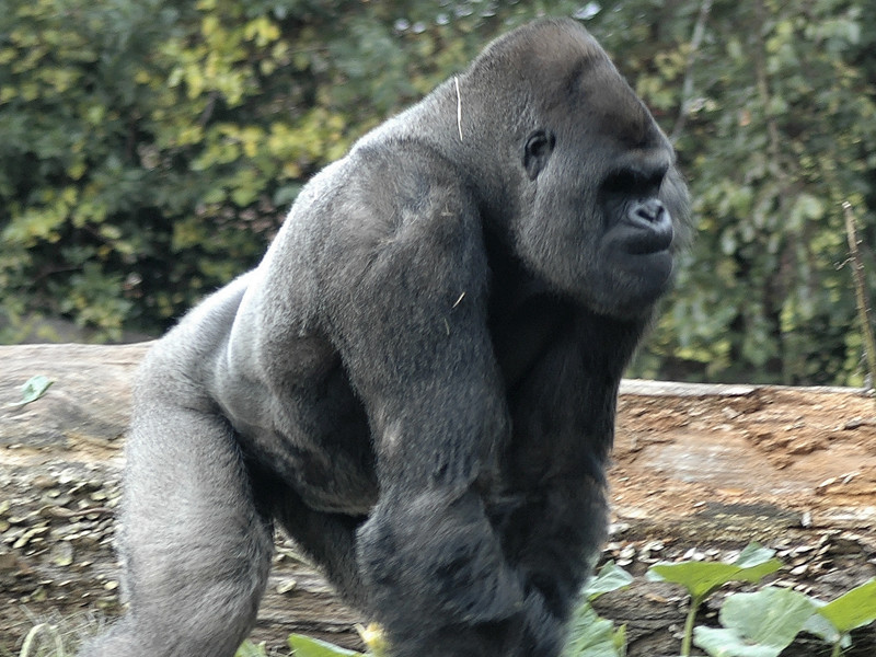 biological anthropology analysis of the gorilla Learn about purdue university's college of liberal arts,  biological anthropology: primate ecology and behavior  economic anthropology, regional analysis, .