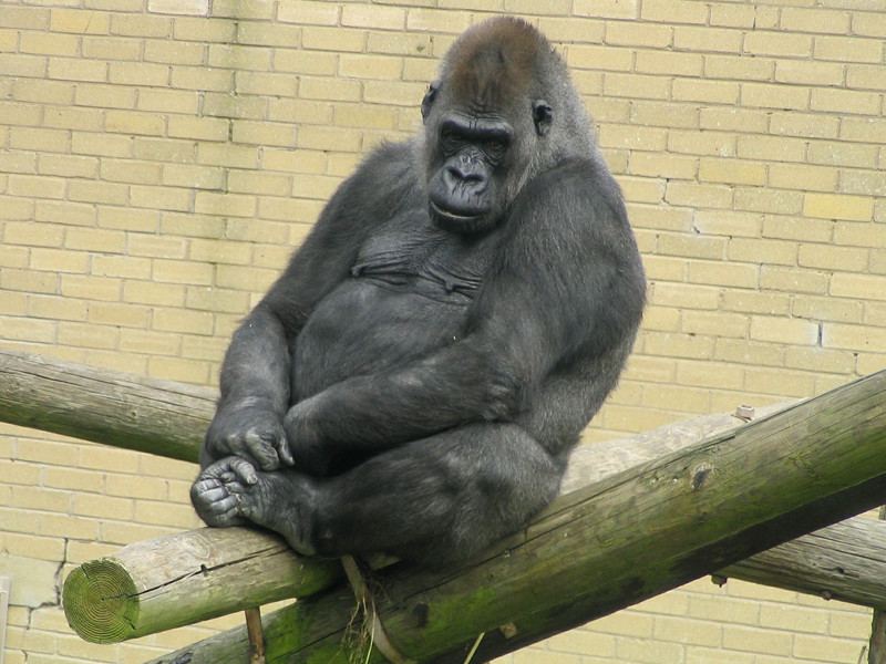 Gorillas in Captivity